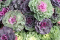 Cabbage colorful arranged for sale Royalty Free Stock Photography