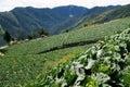 Cabbage farm Royalty Free Stock Photo