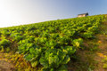 Cabbage farm under sunrise cottage in green chinese in the morning Stock Photography