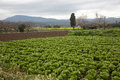 Cabbage field a in a country view with mountains in the horizon Royalty Free Stock Images