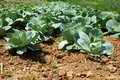 Cabbage field green in rows growing on Royalty Free Stock Photography