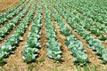 Cabbage field green in rows growing on Royalty Free Stock Images