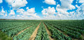 Cabbage field landscape view of a freshly growing Royalty Free Stock Images
