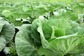 Cabbage field vegetables garden green cabbages close up Stock Images
