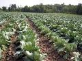 Cabbage field veggie Stock Photos