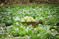 Cabbage field wheelbarrow with a crop of in the Stock Photo