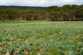 Cabbage fields Royalty Free Stock Images