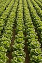 Cabbage fields in Spain Royalty Free Stock Photo