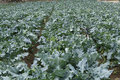 Cabbage flower plantation of familiar agriculture in brazil Royalty Free Stock Photography