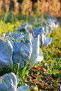 Cabbage in the garden Royalty Free Stock Photography