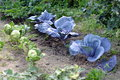 Cabbage in garden Royalty Free Stock Photography