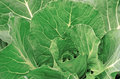 Cabbage in the garden as a background Stock Photography
