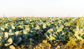 Cabbage growing on the field Royalty Free Stock Images