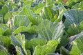 Cabbage leavies with Dewdrop Royalty Free Stock Images