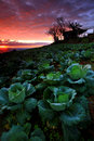 Cabbage plantation at twilight Royalty Free Stock Photo