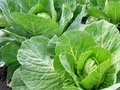 Cabbage plantation of the in the vegetable garden Royalty Free Stock Images