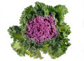 Cabbage purple Royalty Free Stock Image