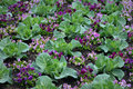 Cabbage with purple pansies beautiful organic growing amongst in the spring Royalty Free Stock Photo