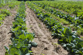 Cabbage rows Royalty Free Stock Image
