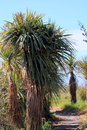 Cabbage tree cordyline australis commonly known as the or palm is a widely branched monocot endemic to new zealand Royalty Free Stock Photo