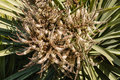 Cabbage Tree Flowers In Bloom