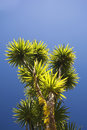 The cabbage tree is one of the most distinctive trees in new zealand landscape Stock Photos