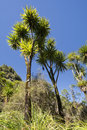 The cabbage tree is one of the most distinctive trees in new zealand landscape Stock Image