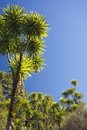 The cabbage tree is one of the most distinctive trees in new zealand landscape Stock Photography