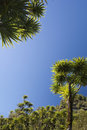 The cabbage tree is one of the most distinctive trees in new zealand landscape Royalty Free Stock Photography