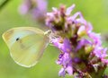 Cabbage white butterfly beautiful feeds the nectar of the purple flower Royalty Free Stock Photo