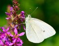 Cabbage white butterfly beautiful feeds the nectar of the purple flower Royalty Free Stock Photos