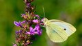 Cabbage white butterfly beautiful feeds the nectar of the purple flower Royalty Free Stock Images