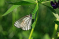 Cabbage white butterfly closeup on green plants background Royalty Free Stock Image