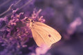 Cabbage white Royalty Free Stock Photo