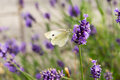 Cabbage white butterfly at the lavender drinking some nectar Royalty Free Stock Photo