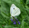 Cabbage White Butterfly Royalty Free Stock Photo