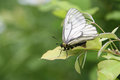 Cabbage white butterfly resting in morning sun Stock Photography