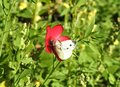 Cabbage white butterfly sitting on a red flower Royalty Free Stock Photo