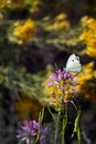 Cabbage white on rocky mountain bee plant a butterfly nectars the pink flowers of a Stock Images