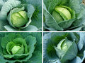 Cabbages set Royalty Free Stock Photo