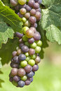 Cabernet Franc Grapes Ripening Royalty Free Stock Photo