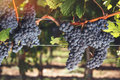 Cabernet franc grapes on vine growing in a vineyard ripe at sunset time vintage toned image selective focus Royalty Free Stock Photos