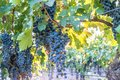 Cabernet grapes in vines ready to harvest in Napa Valley Royalty Free Stock Photo