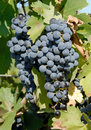Cabernet Sauvignon Grapes Royalty Free Stock Image