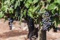 Cabernet sauvignon grapes a bunch of red in a vineyard in santiago do chile maipo valley Stock Photography
