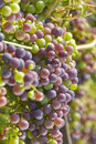 Cabernet Sauvignon Grapes Hanging on the Vine Stock Photo