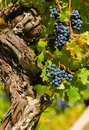 Cabernet sauvignon red wine grapes Stock Photos