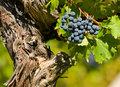 Cabernet sauvignon red wine grapes Royalty Free Stock Photos