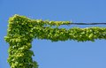 Cables and ivy day view of covered with over blue sky Royalty Free Stock Photo