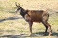 Cabra-montesa Imagens de Stock